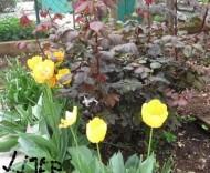 vrt3.tulip.jpg